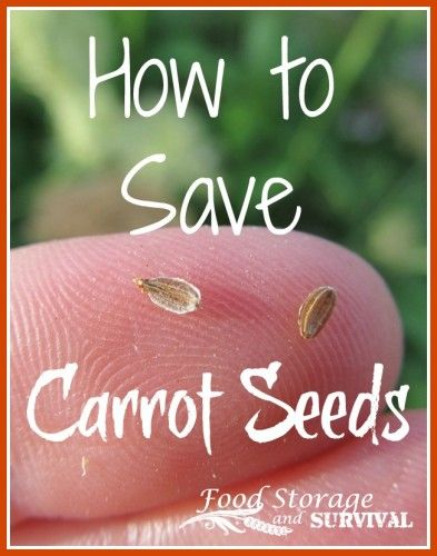 Part Of The 30 Ways Homesteading Series How To Save Carrot Seeds Super Easy Two Year Process Fully Ilrated
