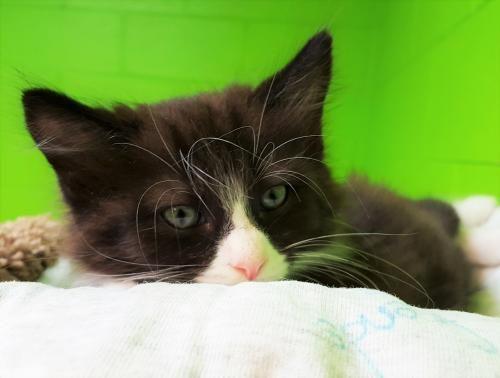 Adopt Mason on Cats, kittens, Adoption, Cats