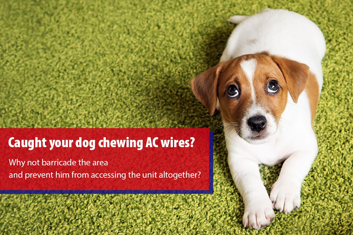 Dogs love chewing wires. What to do if your puppy starts chewing the ...