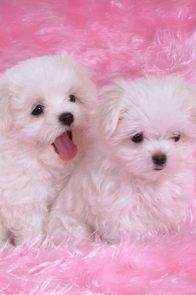 Two White Puppies On Pink Desktop Nexus Wallpapers Cute Puppy Wallpaper Maltese Puppy Baby Dogs