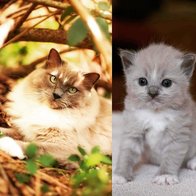 All Grown Up A Baby Blue Mink Mitted Ragdoll Kitten And Now An