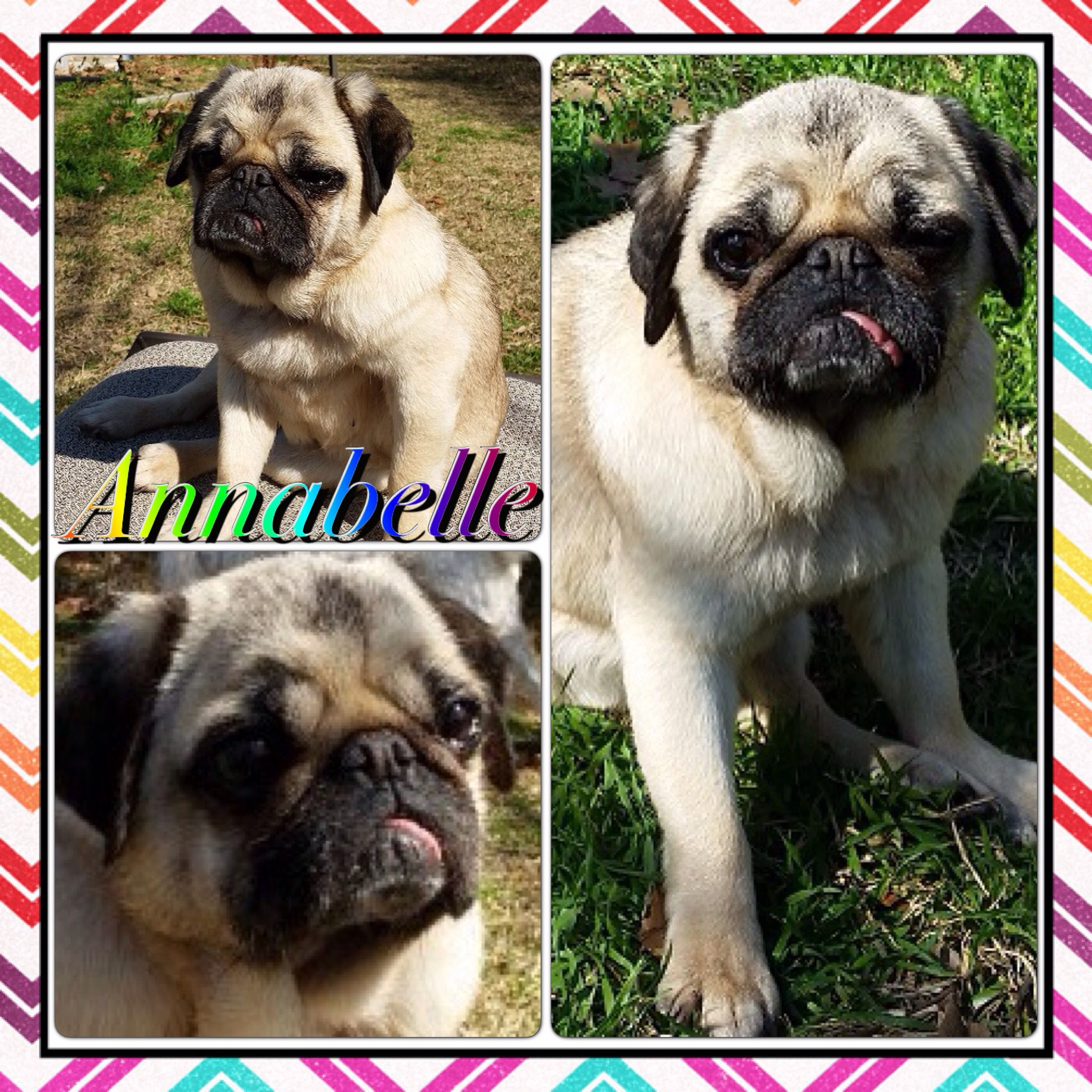 Hello Pug Rescue Peeps My Name Is Annabelle An 8 Year Old Pug