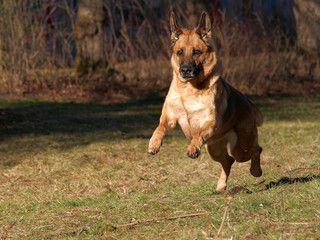 Pin Von The German Shepherd Auf German Shepherd Part 33 Deutscher Schaferhund Schaferhunde Hunde
