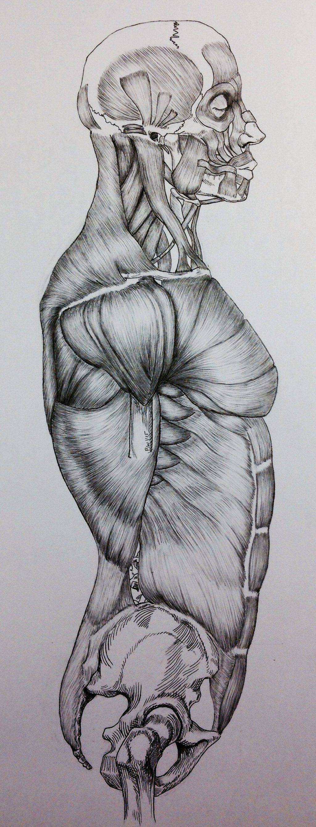 Torso Side View Muscle Anatomy Google Search Muscles And Anatomy