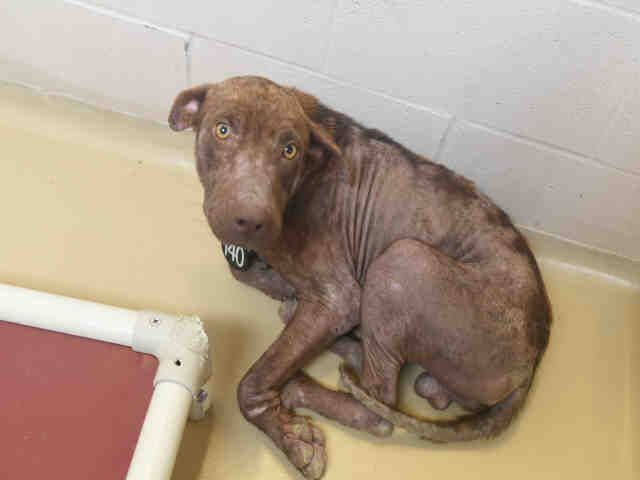 Save Bobby A490515 Harris County Texas Animal Shelter Pets Animals