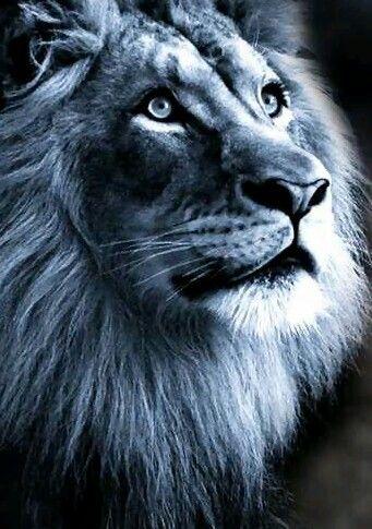 Blue Lion Jungle Cats Pinterest Lion Wallpaper Lion Love