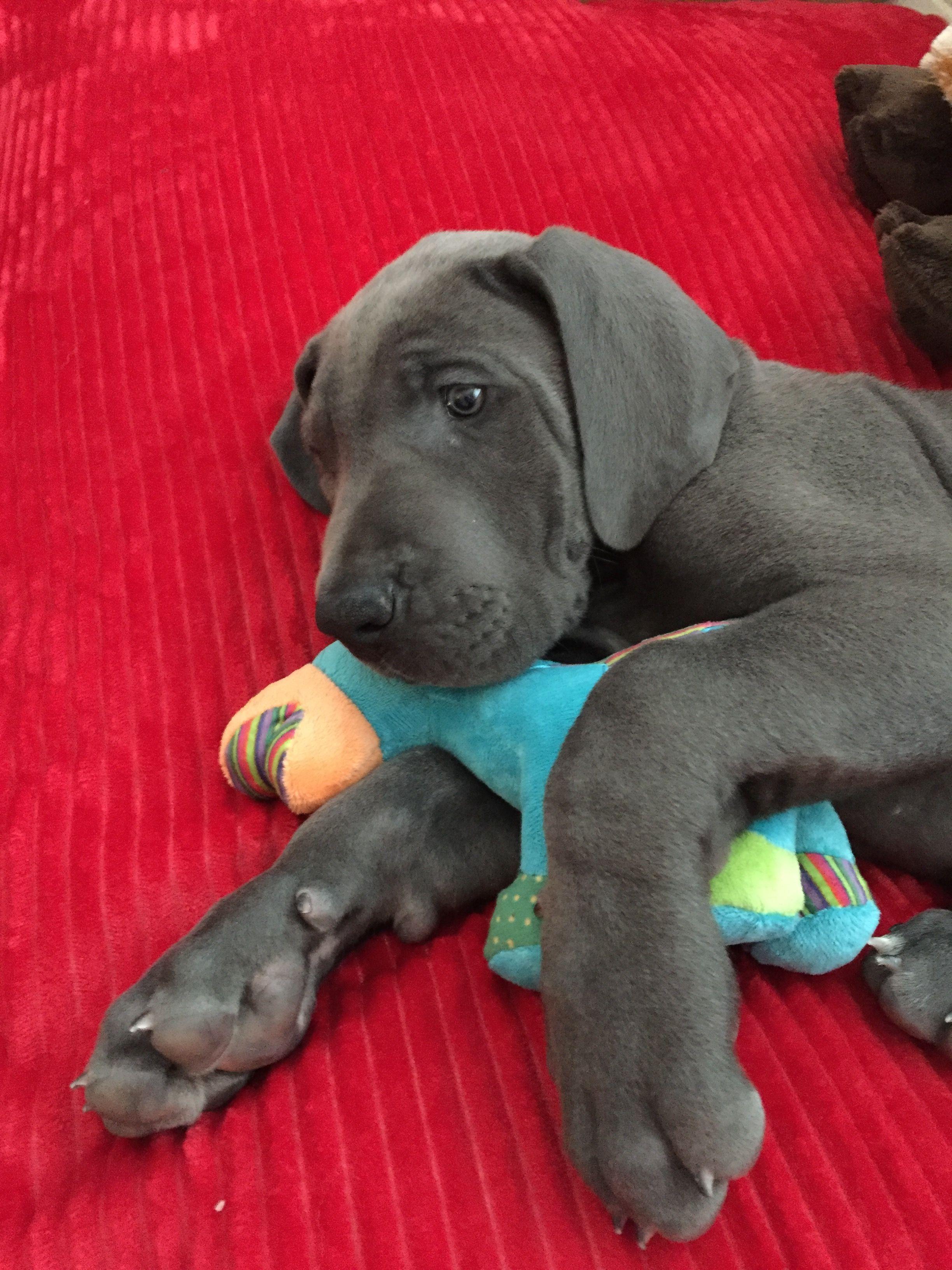 Judge The 8 Week Old Great Dane Great Dane Dogs Dog Friends