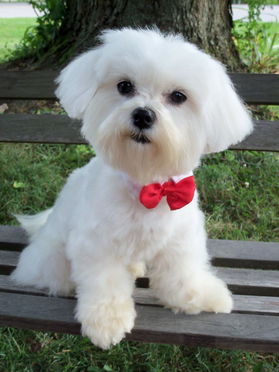 Cute Maltese Haircuts Topsimages