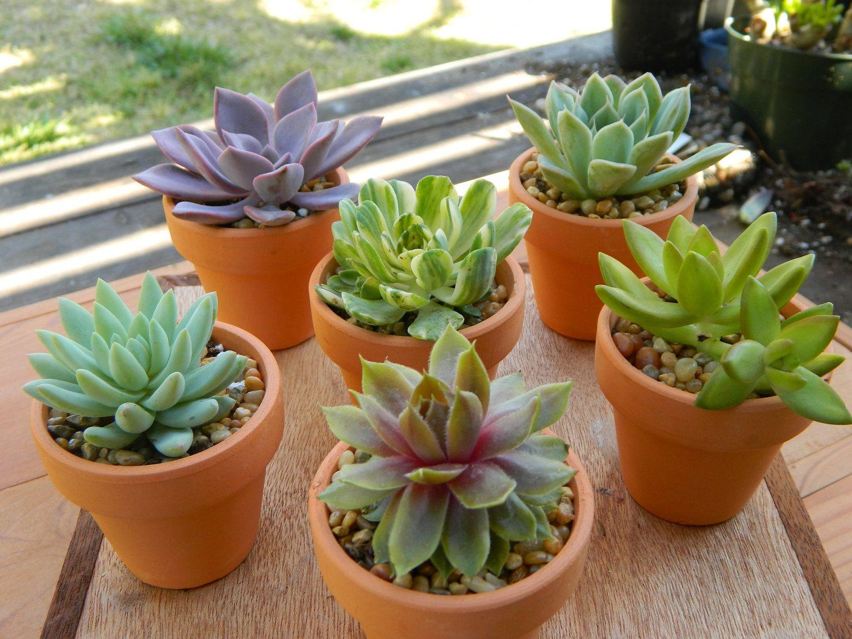 Succulent favors etsy Garden party favors, Succulent
