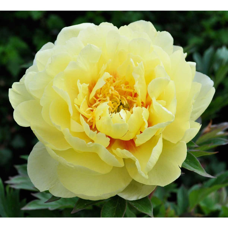 10 Chinese Yellow Peony Flower Seeds Rare Beautiful Flower For Garden Yellow Peonies Peonies Garden Growing Peonies