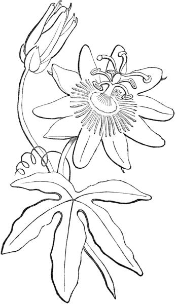 Dibujos De Botanica Para Colorear