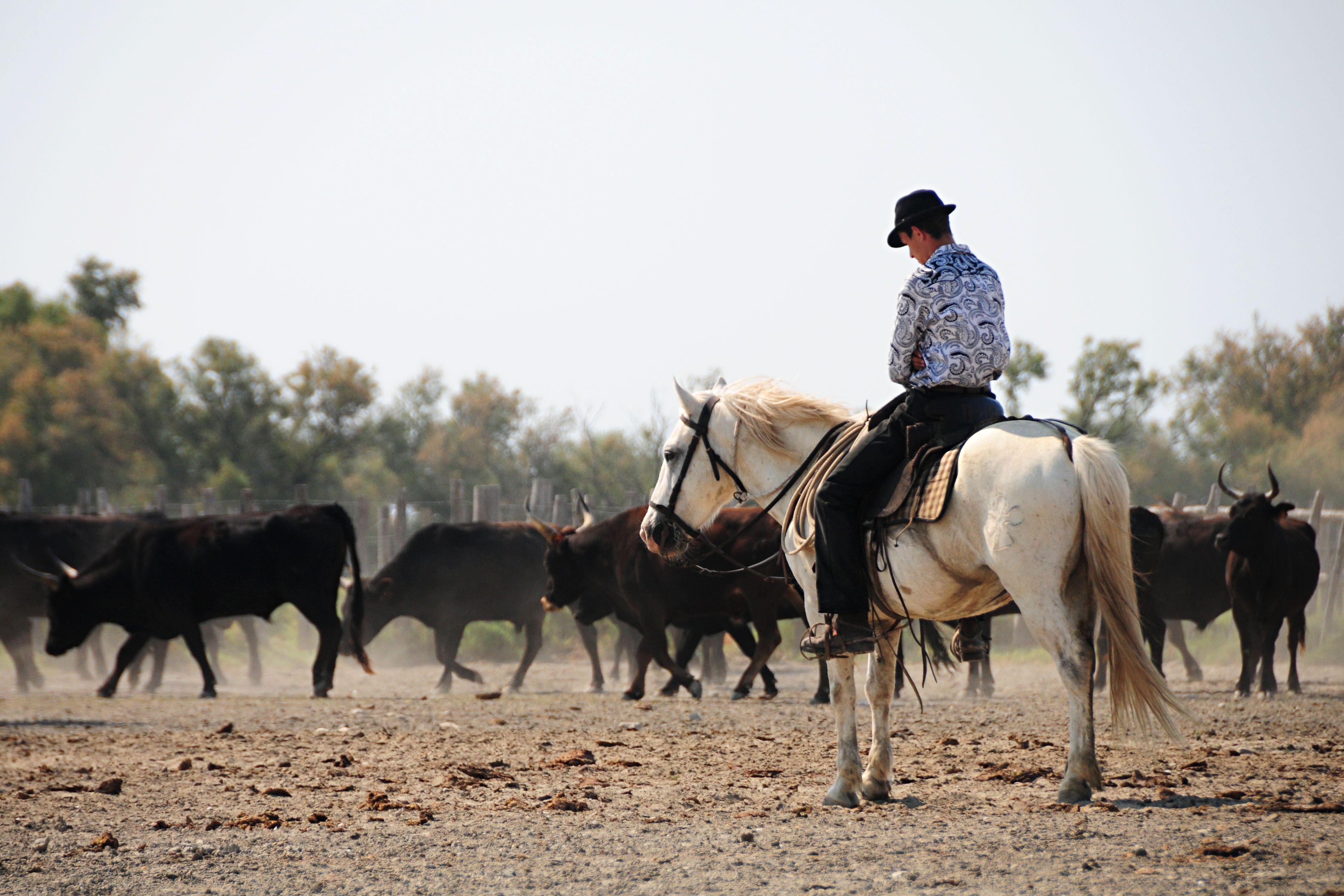 Feria du cheval 2013, Saintes Maries de la Mer. Travail du bétail interdisciplines: camargue.