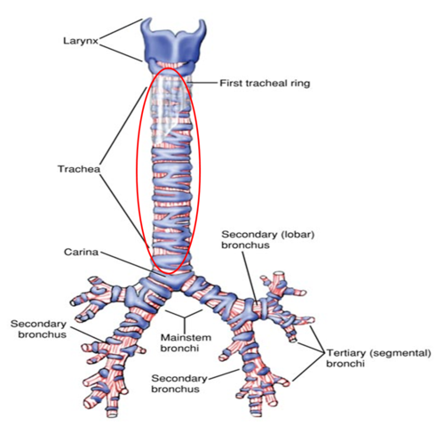 Trachea and bronchioles | Anatomy and Physiology for Communication ...