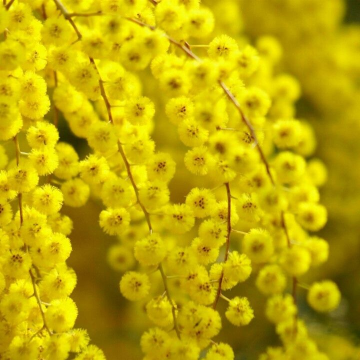 The Acacia Flower Blooms From A Genus Of Trees And Shrubs That Belong In Either The Fabaceae Family Or The Mimosoi Flowers Nature Yellow Flowers Yellow Blossom