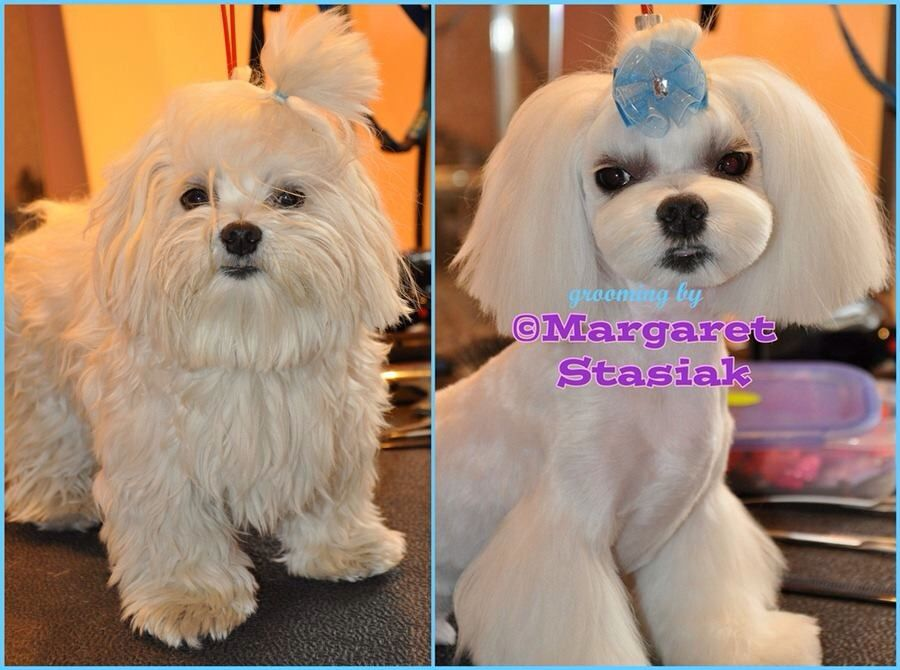 Maltese Korean Style Makeover Dog Haircuts Dog Grooming Tips
