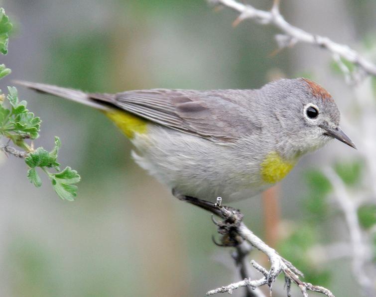 virginia's warbler - Google Search | Bird life list ...