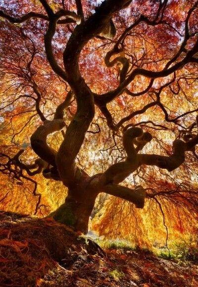 Fiery tree, northern Holland