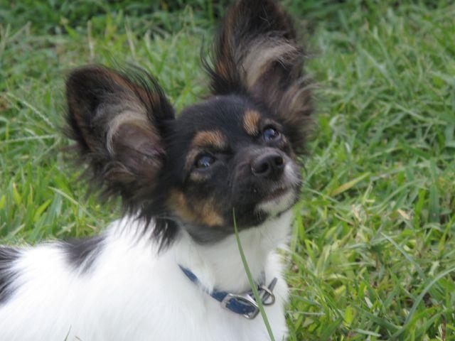 Papillon Puppies Gallery Cutepapillonpuppies Com Papillon Puppy Papillon Dog Puppies