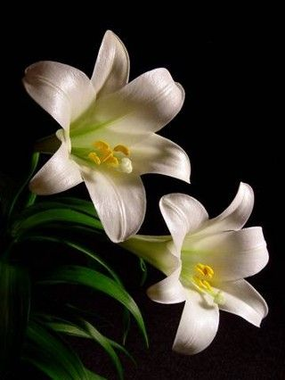 Easter lilies google search flower faves pinterest easter easter lilies google search negle Choice Image