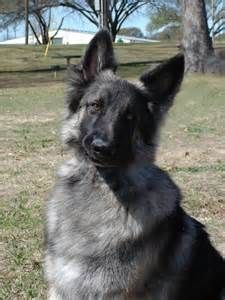 Black And Silver Sable German Shepherd Dog Yahoo Image Search