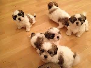 Things You Wont Like About Shih Tzu For Sale Singapore And Things You Will In 2020 Shih Tzu Puppy Shih Tzu Shih Tzu For Sale