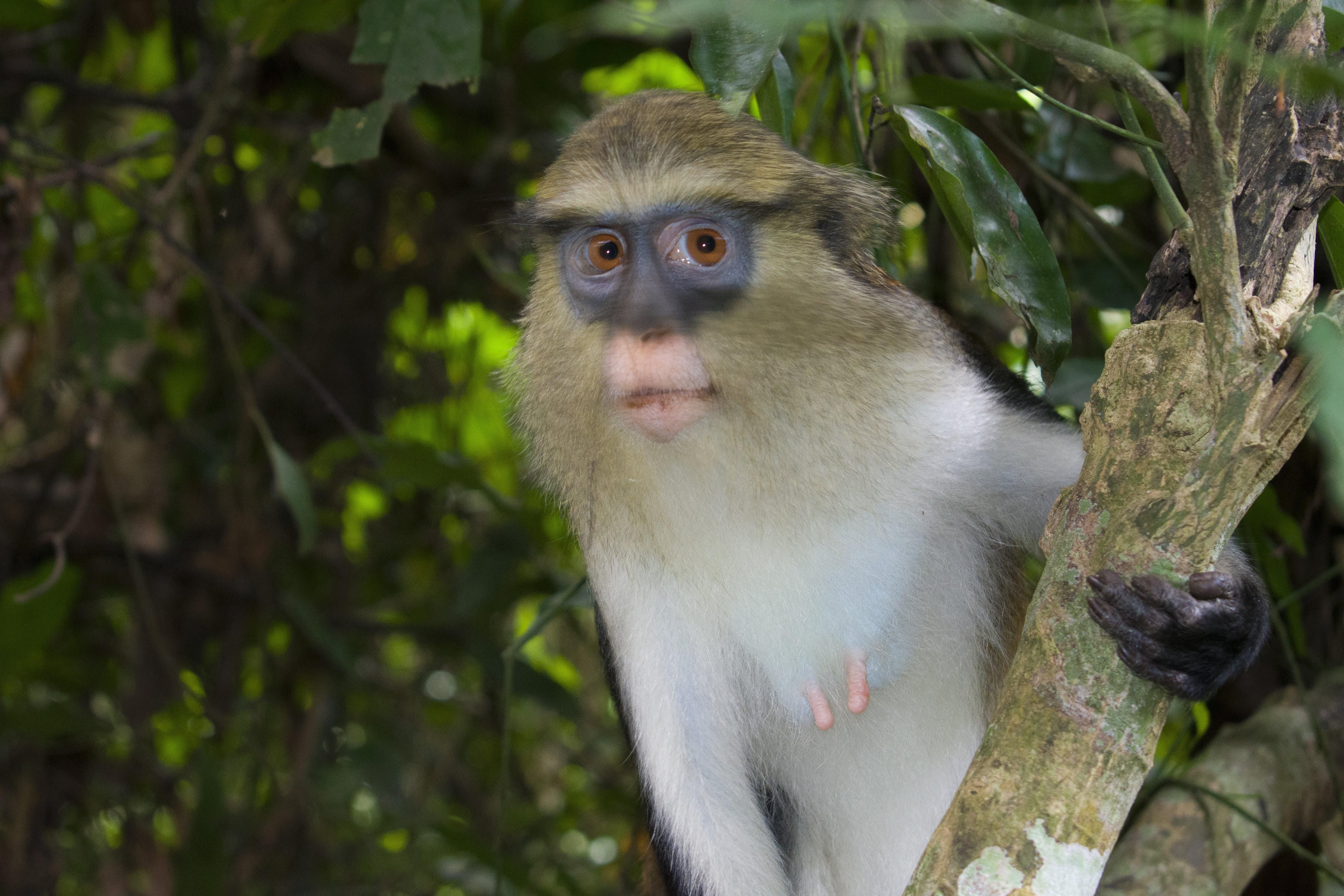 ITAP of a Mona monkey at the Tafi Monkey Sanctuary in Ghana.#PHOTO #CAPTURE #NATURE #INCREDIBLE
