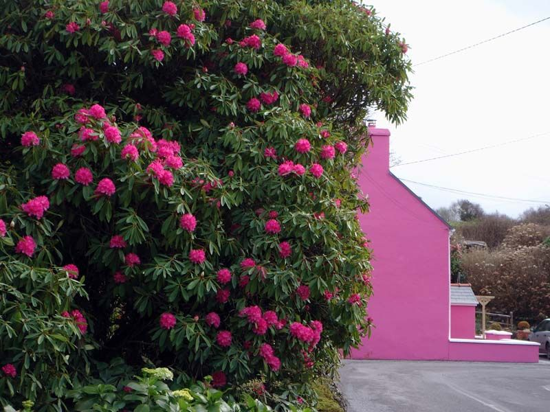 green and pink: this place near adrigole in west cork/ireland looks amazing in april and may