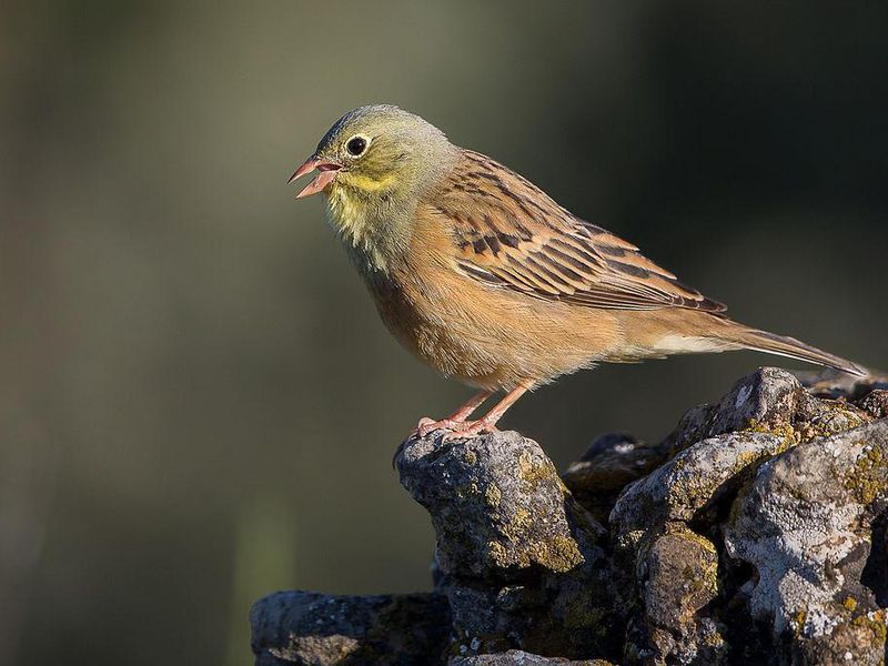Ortolans, Songbirds Enjoyed as French Delicacy, Are Being ...