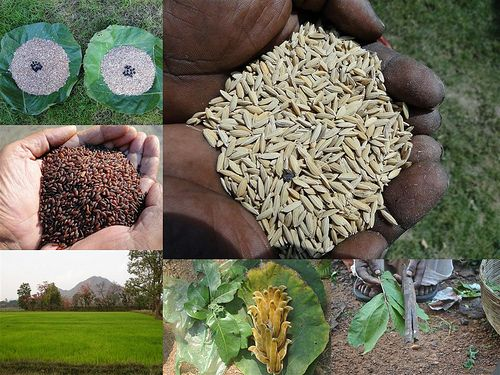 Validated and Potential Medicinal Rice Formulations for Hypertension and/with Diabetes mellitus Type 2 Complications (TH Group-270) from Pankaj Oudhia's Medicinal Plant Database