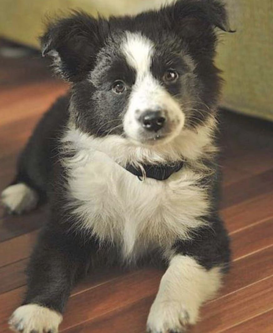 Border Collie Australian Shepherd Mix In 2020 Border Collie Mix