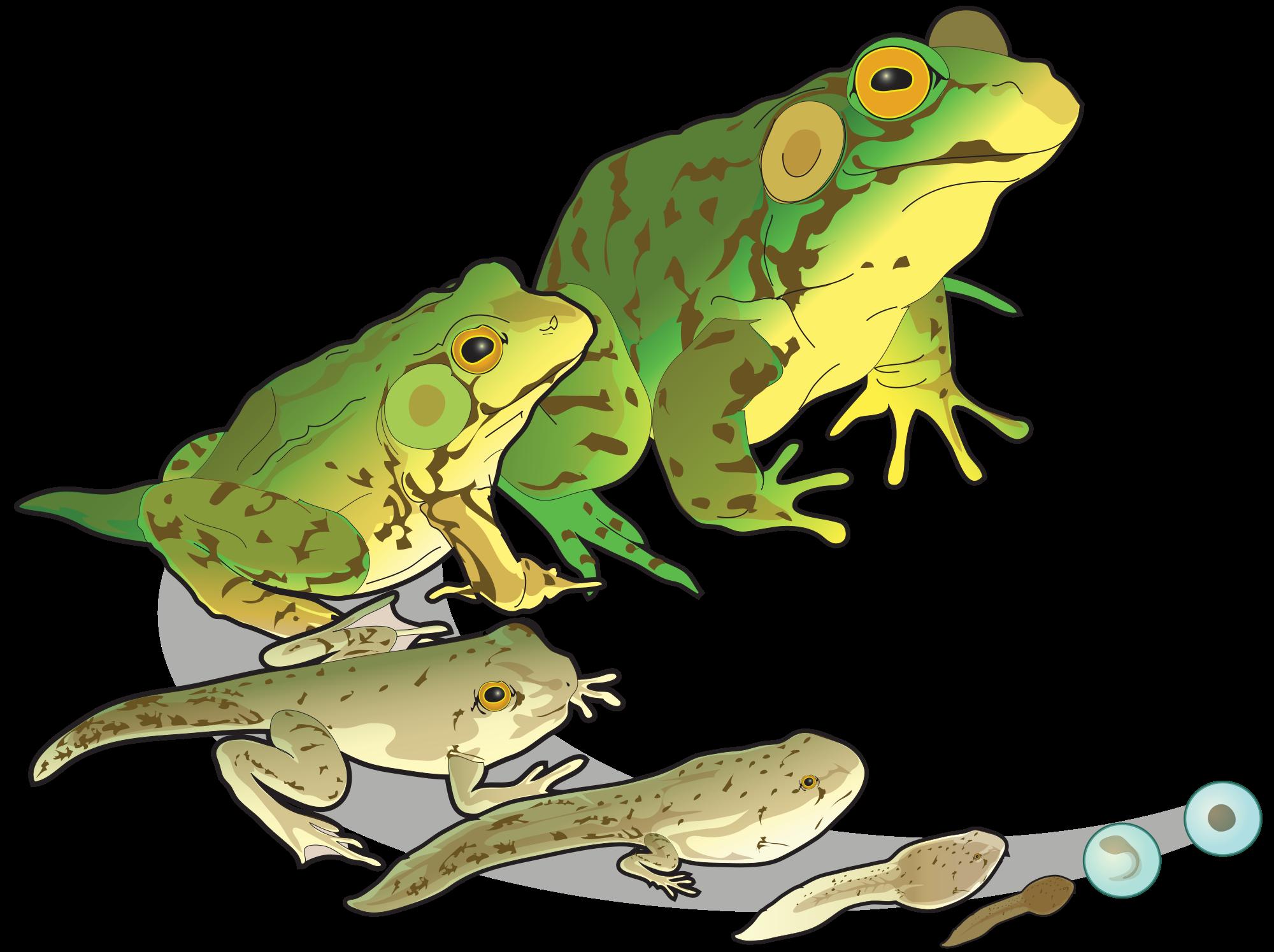 transparent clip frogs - Google Search | CLIP ART | Pinterest | Clip art