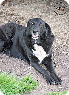 Iola Tx Labrador Retriever Great Pyrenees Mix Meet Mason A Dog For Adoption Labrador Retriever Labrador Retriever Mix Labrador