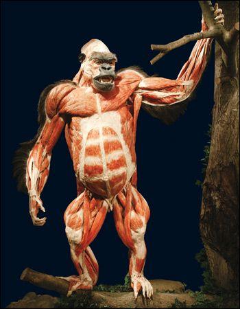 Titan Gorilla here.... | Attack On Titan | Pinterest | 3d anatomy ...