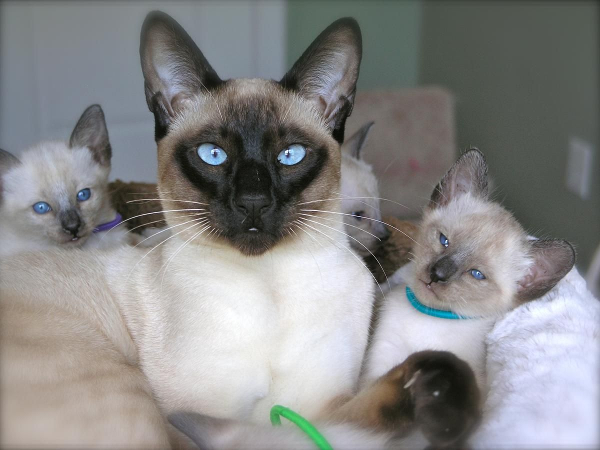 Carolina Blues Cattery Siamese Kittens for Sale Siamese