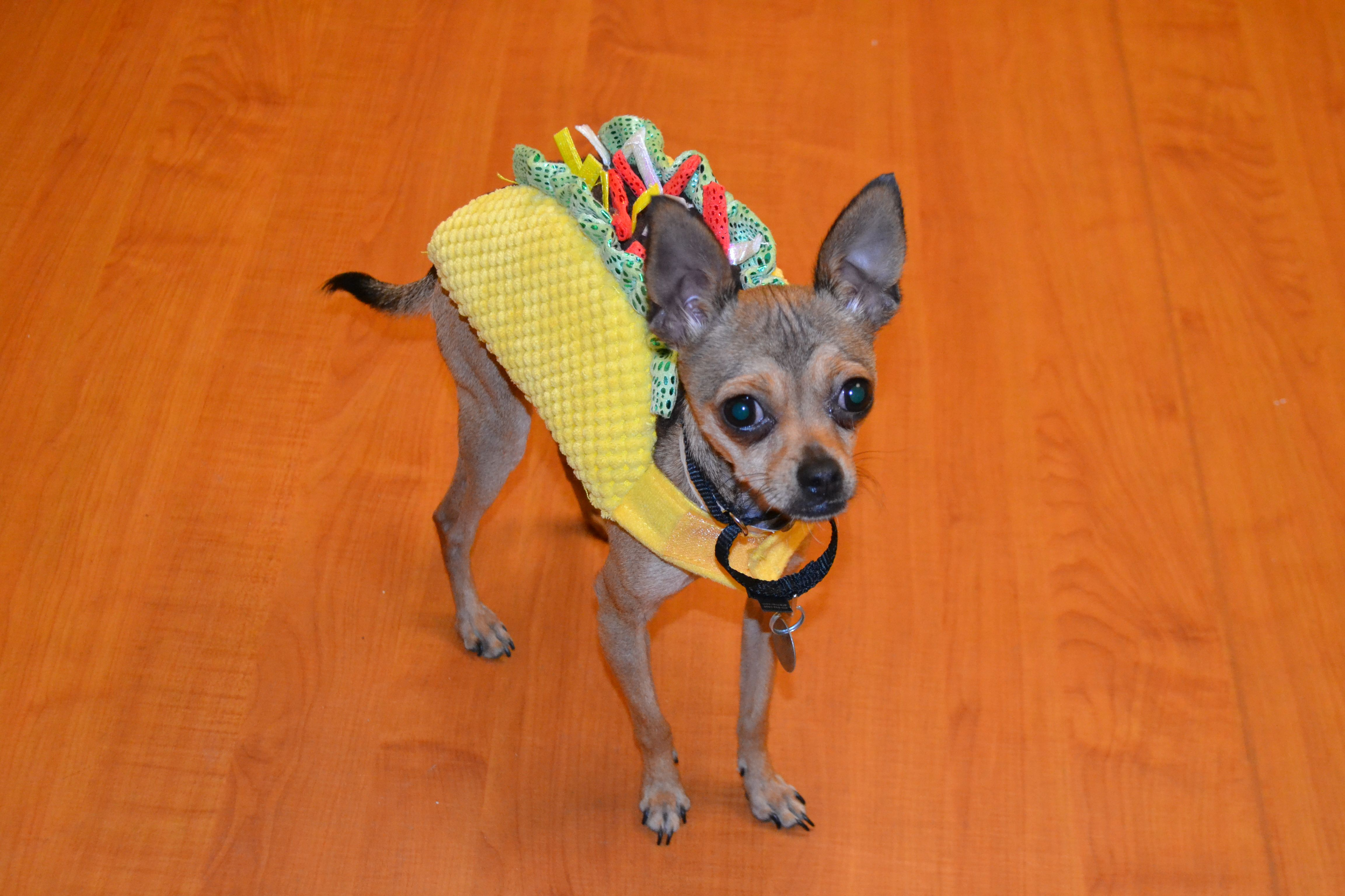 Cherie is a twoyearold female Chihuahua. http//www