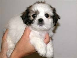 Maltese Shitzu Puppies For Sale Perth Google Search Shitzu Puppies