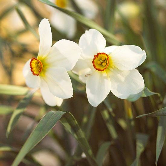 The best fragrant spring flowering bulbs daffodils gardens and the best fragrant spring flowering bulbs daffodils gardens and daffodil bulbs mightylinksfo
