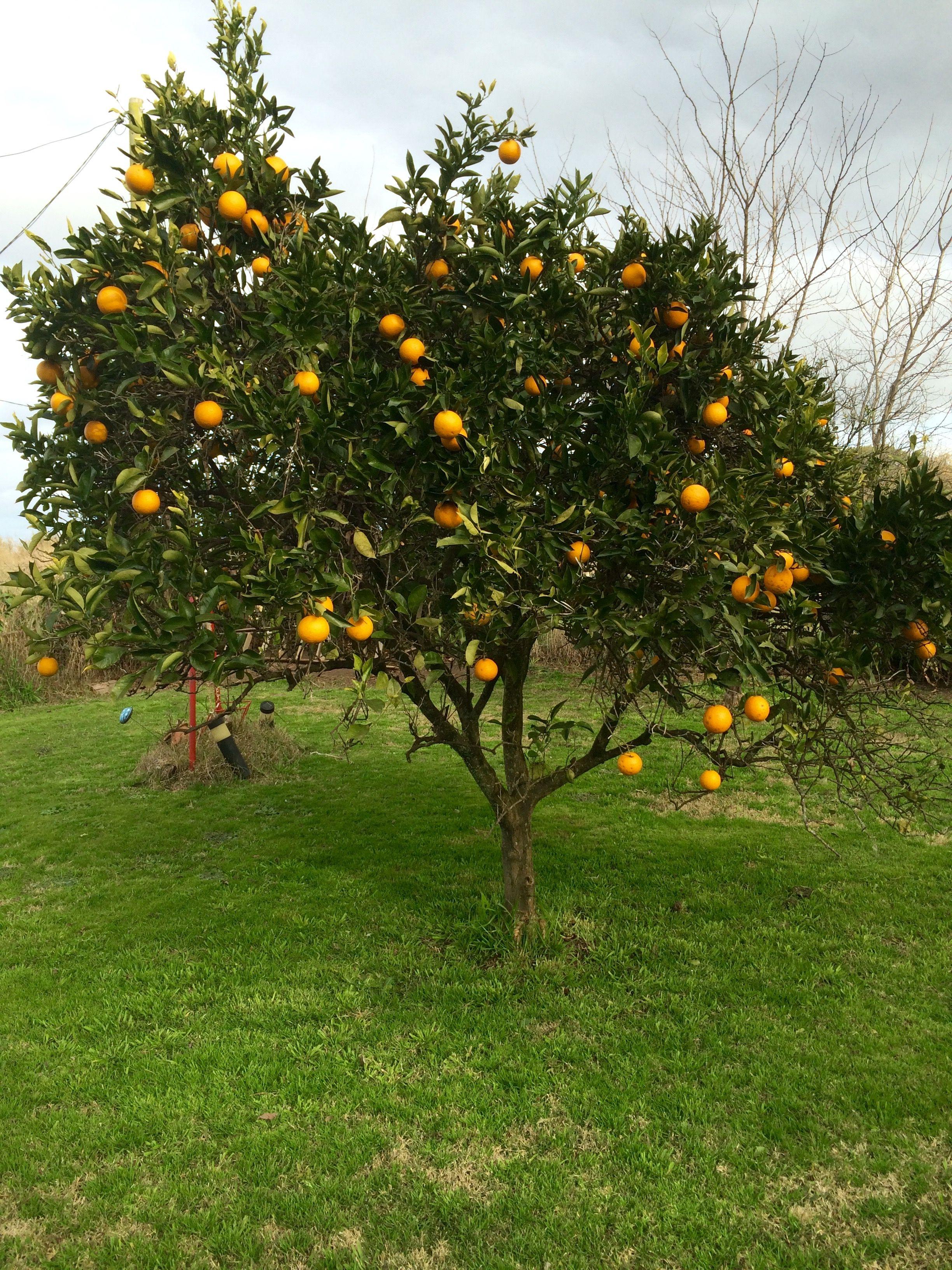 Rbol de naranja jardines fondos bonitos para fotos for Arboles de poca raiz para jardin