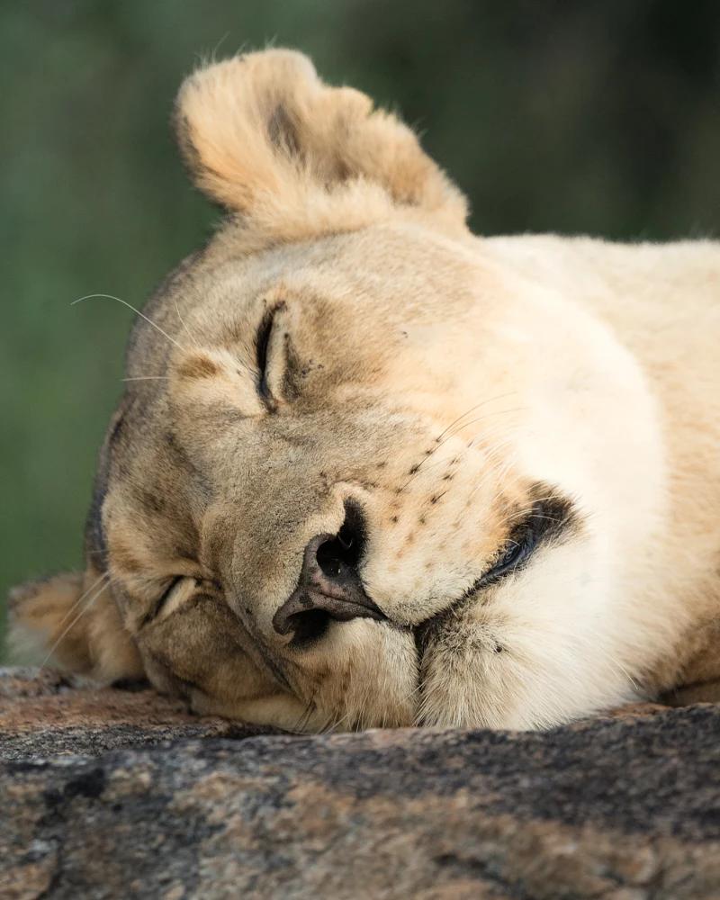 Sleeping Lion 500px Sleeping Lion Animal Planet Wild Cats