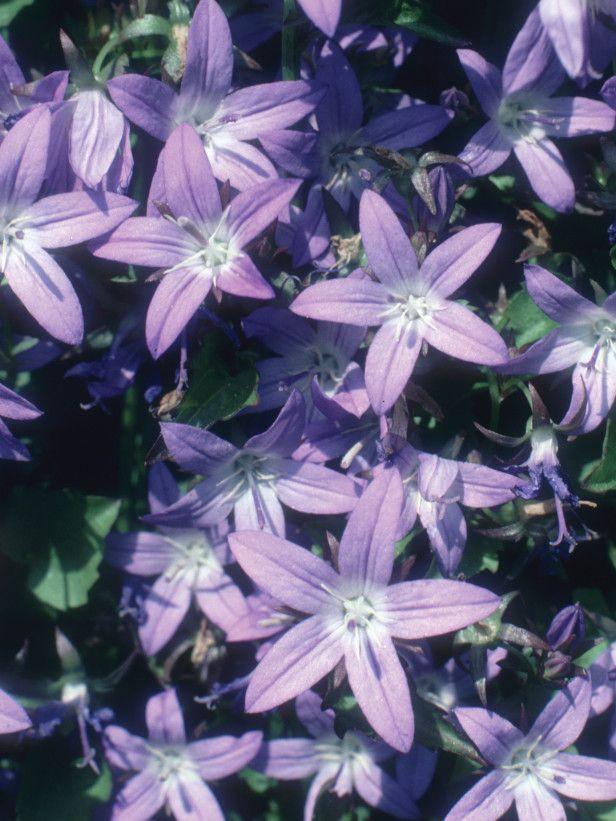 Purple Stars for sunny rock garden