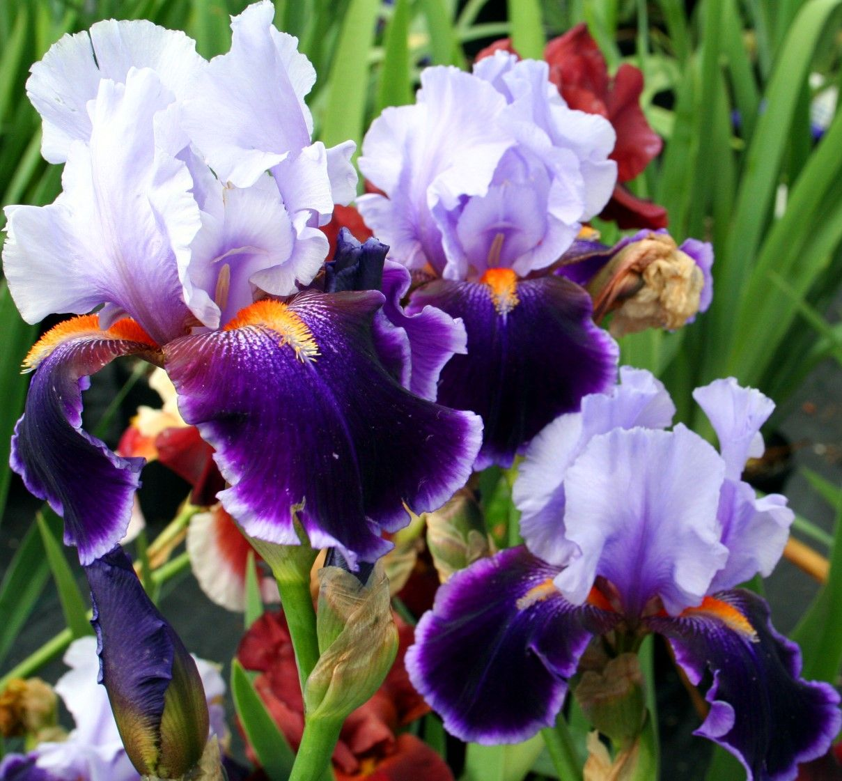 Iris is there any flower more beautiful zs favourite flowers paintings of a cluster of iris flowers yahoo image search results izmirmasajfo