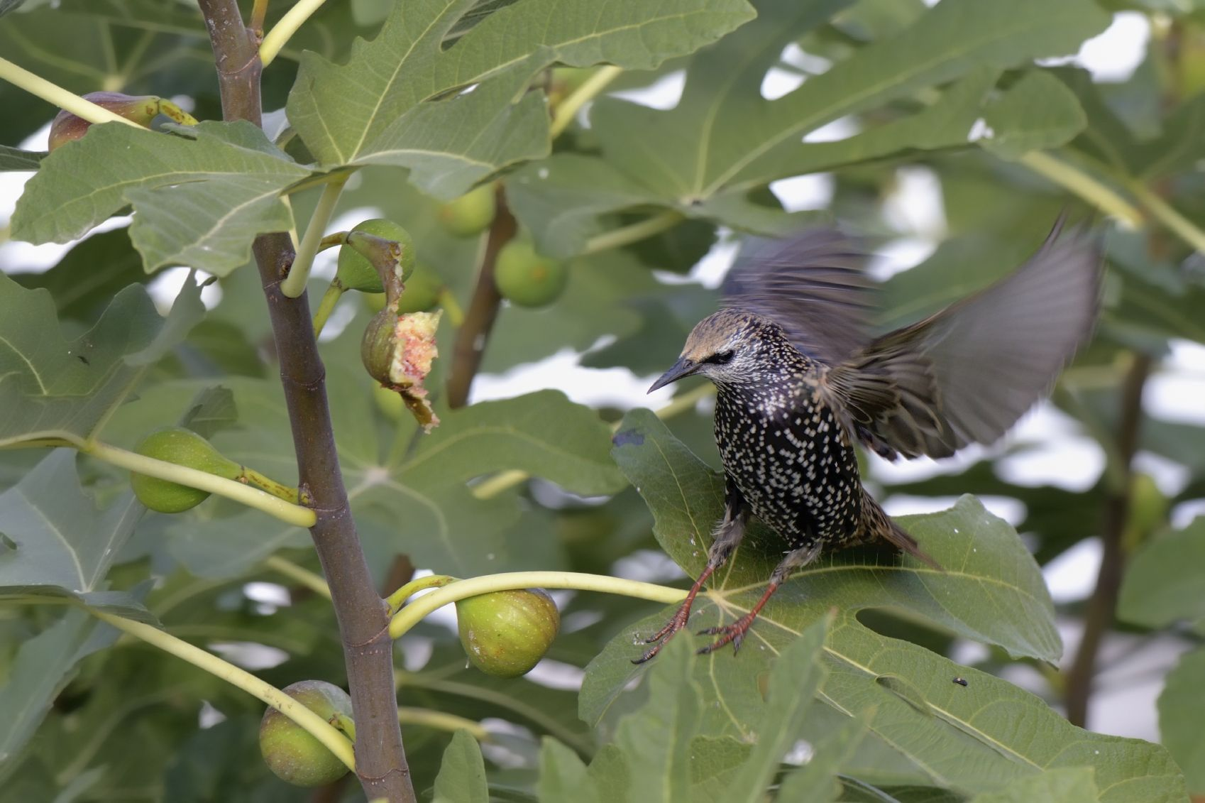 Park Art|My WordPress Blog_How To Keep Birds Out Of Fig Trees