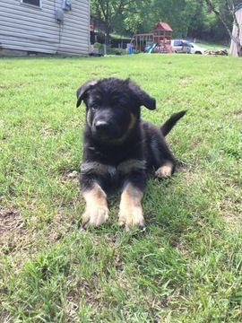 Litter Of 5 German Shepherd Dog Puppies For Sale In Carthage Tn