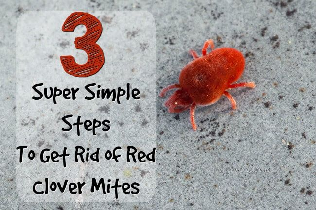 How To Get Rid Of Clover Mites Those Tiny Red Bugs The Thrifty Clover Mites Mites Oak Mite Bites