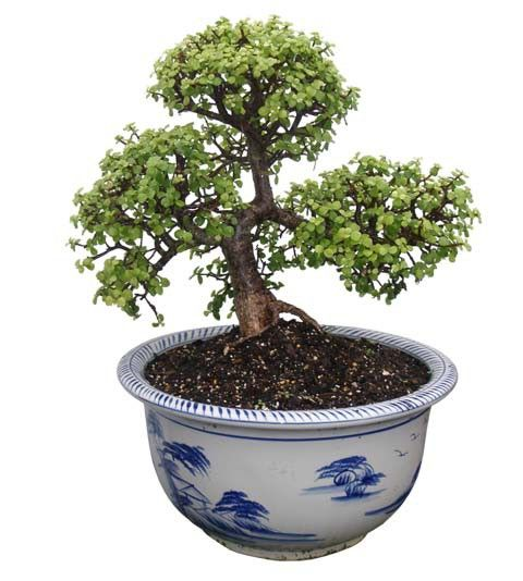 "Dwarf Jade Bonsai Tree - Único Bonsái 18 ""Tall: Medio (Web)"