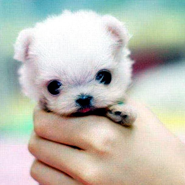Cute Small Dogs That Stay Small And Don't Shed cuteies