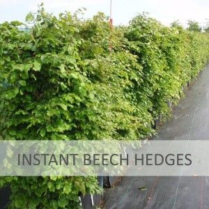instant-beech-sash