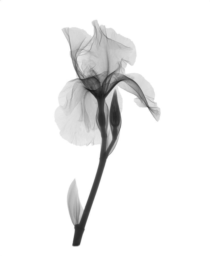 An X Ray Of An Iris Flower Iris Germanica This Low Energy X Ray Shows The Interior Structure Of In 2020 Iris Flower Tattoo Xray Flower Iris Flowers