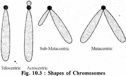 for Class 11 Biology Chapter 10 Nucleus and Chromosomes