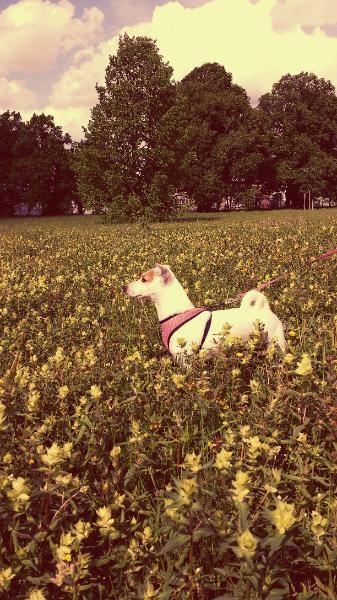 Sucht Drigend Ein Neues Zu Hause Jack Russell Terrier Terrier Hundebabys